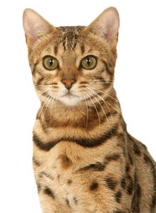 les éleveurs s\u0027attachent maintenant à obtenir un type physique le plus  proche possible du chat léopard. Le premier Bengal fut importé en France en  1989.