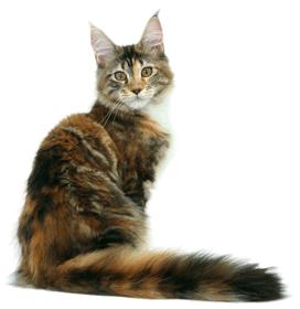 Considéré comme le plus imposant des chats domestiques, le Maine Coon est un chat à poil mi,long, au corps rectangulaire et à la musculature puissante.
