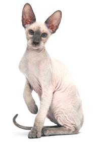 """Résultat de recherche d'images pour """"image chat nu"""""""