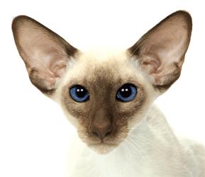 Le Siamois est un chat dune grande élégance, svelte et musclé. La tête est triangulaire vue de face. Les oreilles, grandes et larges à la base,